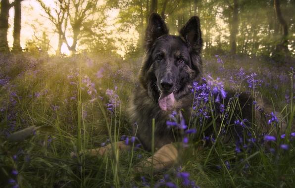 Picture look, flowers, glade, dog, bells, shepherd, German shepherd