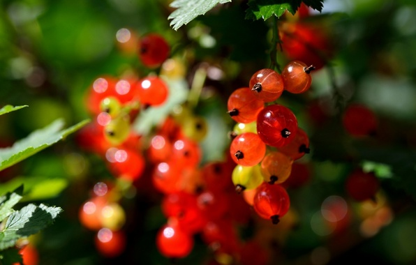 Picture nature, berries, berry, nature, currants, currant