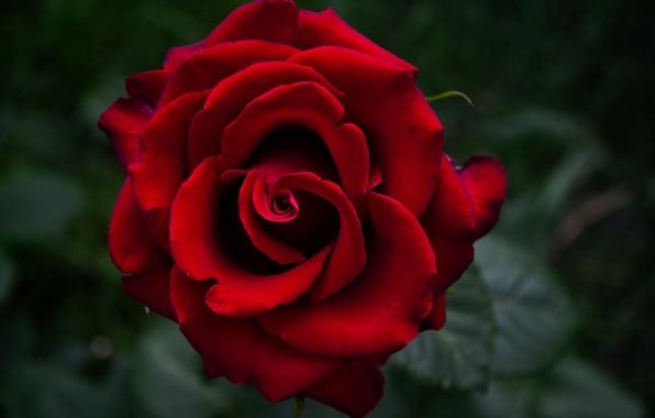 Picture macro, flowers, rose, garden, Bud