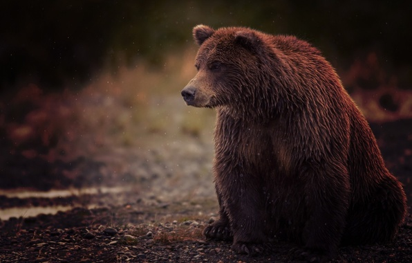 Picture wet, bear, sitting, wet, bear, brown, brown, sits, toed, Bruin