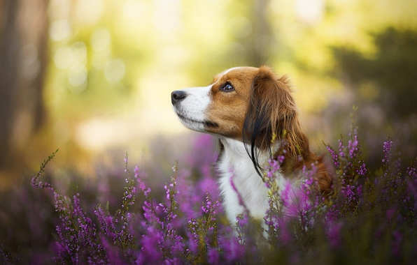 Picture dog, bokeh, Heather, Kooikerhondje