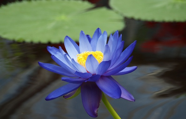 Picture flower, leaves, water, pond, blue, Lotus, Lily, water Lily