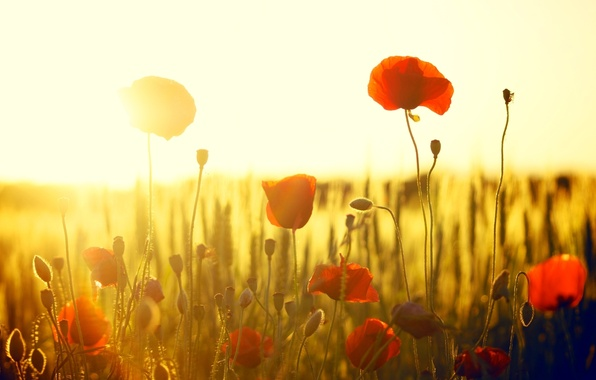 Picture field, the sun, flowers, red, background, widescreen, Wallpaper, Mac, Maki, wallpaper, flowers, widescreen, flowers, background, …