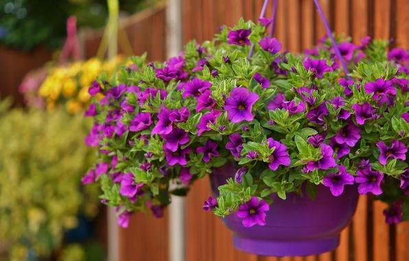 Picture purple, pot, Petunia