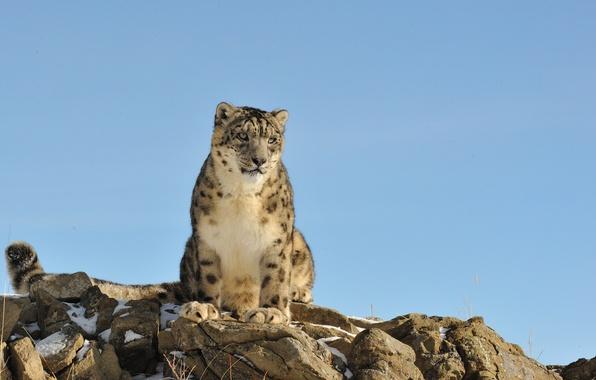 Picture cat, nature, stones, IRBIS, snow leopard