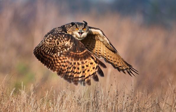 Picture look, owl, flight