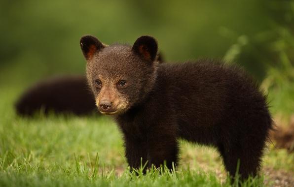 Picture look, bear, black bear, Baribal