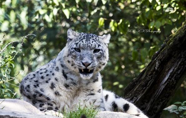 Picture look, stay, stone, predator, IRBIS, snow leopard