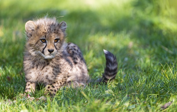 Picture cat, grass, shadow, Cheetah, cub, kitty, ©Tambako The Jaguar