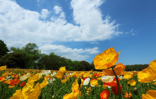 Picture field, the sky, clouds, trees, flowers, Maki, meadow