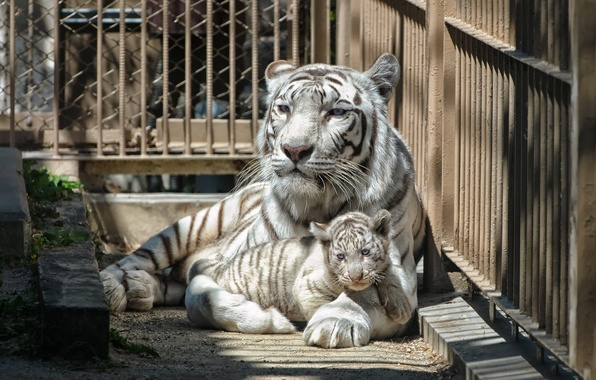 Picture cat, white, tiger, cell, zoo, tiger