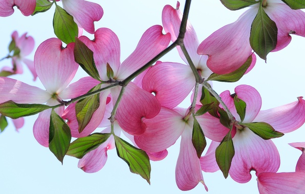 Picture macro, branches, petals, flowering, flowers, Dogwood