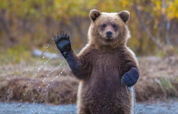 Picture bear, hi, Alaska, grizzly