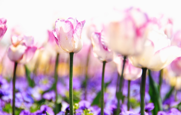 Picture light, flowers, nature, stems, glade, tenderness, plants, spring, blur, purple, tulips, pink, white, buds, lilac