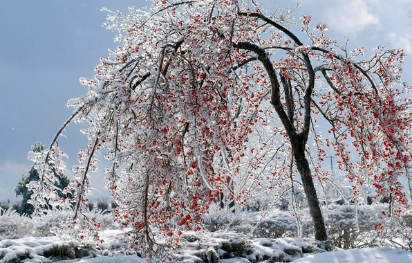 Picture winter, berries, tree, ice