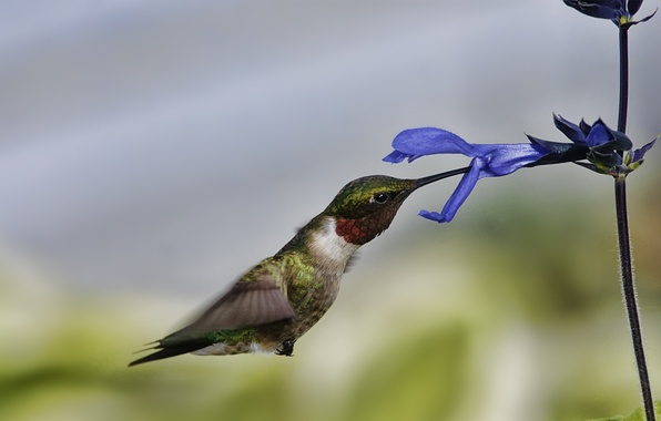 Picture flower, macro, flight, bird, Hummingbird
