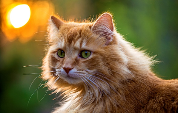 Picture greens, cat, eyes, cat, look, face, fluffy, red, green