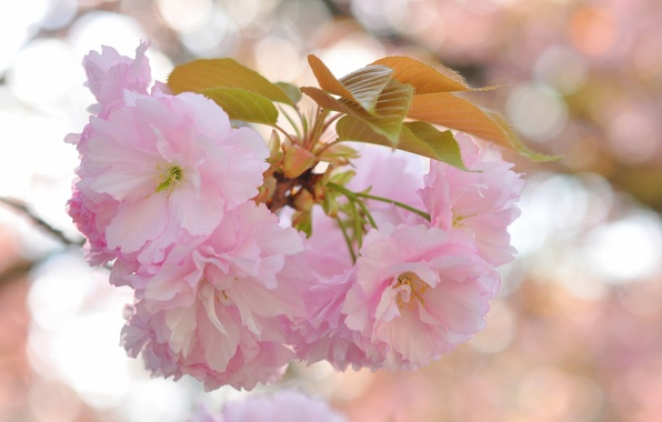 Picture leaves, flowers, glare, background, branch, Sakura, pink