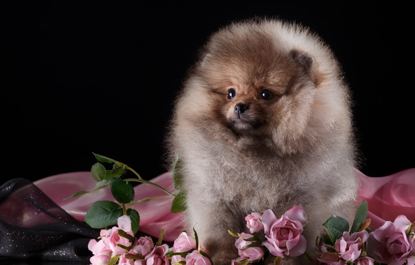 Picture roses, fluffy, puppy, Spitz