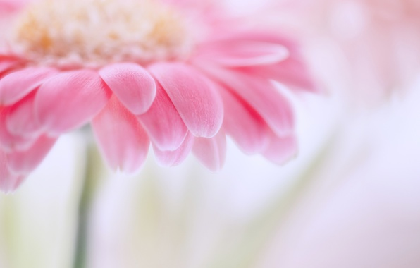 Picture flower, macro, pink, focus, petals, blur, gently, gerbera