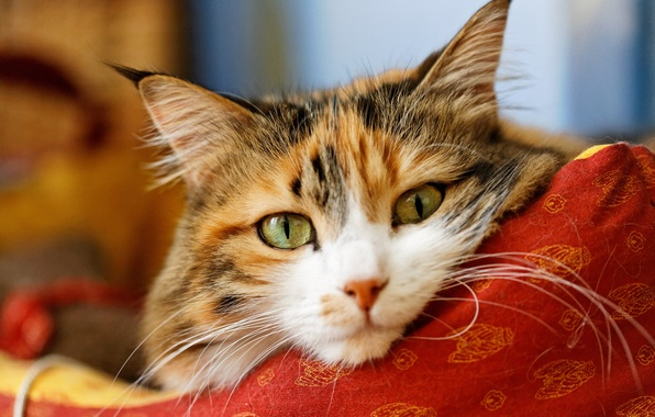 Picture cat, cat, look, face