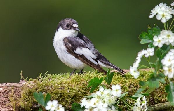 Picture bird, moss, flowers, hawthorn, Flycatcher-Flycatcher
