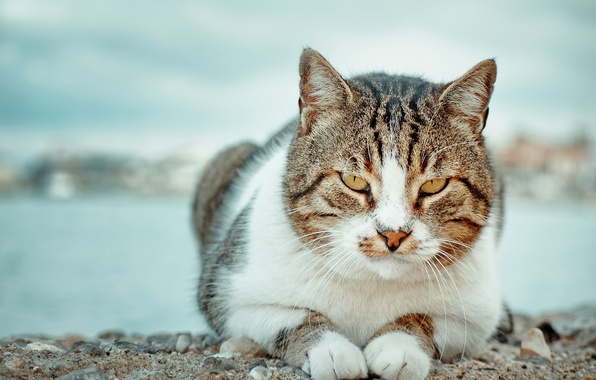 Picture cat, look, portrait, kotofey
