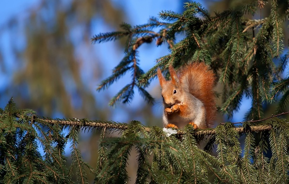 Picture animal, spruce, protein
