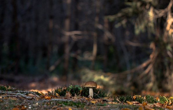 Picture forest, nature, moss, White mushroom