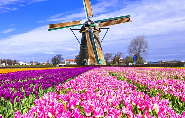 Picture field, mill, tulips, Netherlands, colorful, Keukenhof, Lisse