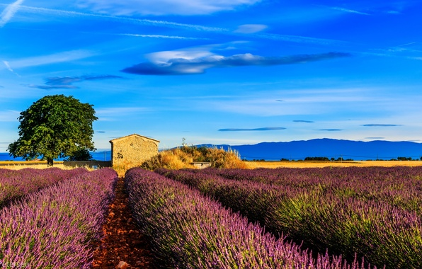 Picture field, tree, France, house, lavender, Provence, Provence