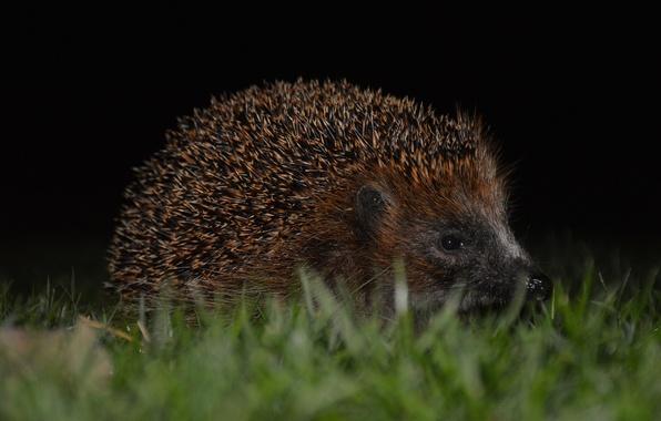 Picture eyes, barb, muzzle, hedgehog