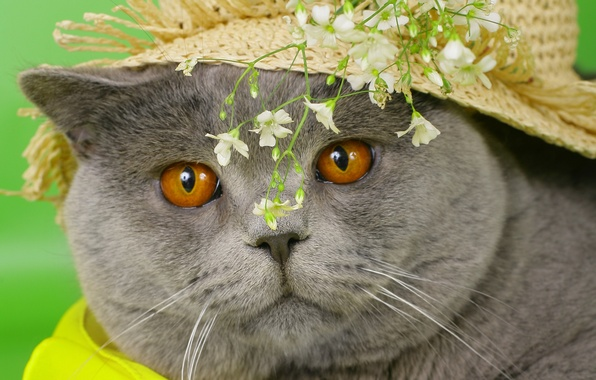 Picture cat, eyes, cat, face, flowers, grey, hat, yellow, cat, British, British