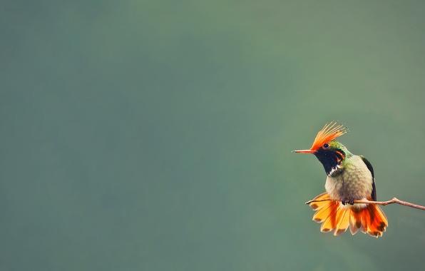 Picture background, bird, branch, Hummingbird
