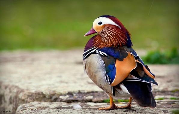 Picture bird, duck, tangerine