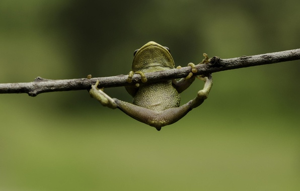 Picture macro, green, background, frog, legs, branch, hanging
