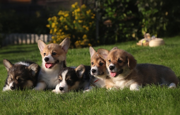 Picture grass, puppies, Corgi