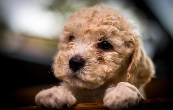 Picture dog, muzzle, puppy, poodle