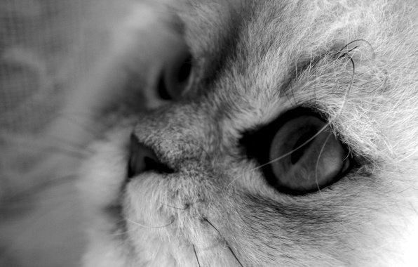 Picture cat, cat, macro, black and white, grey background