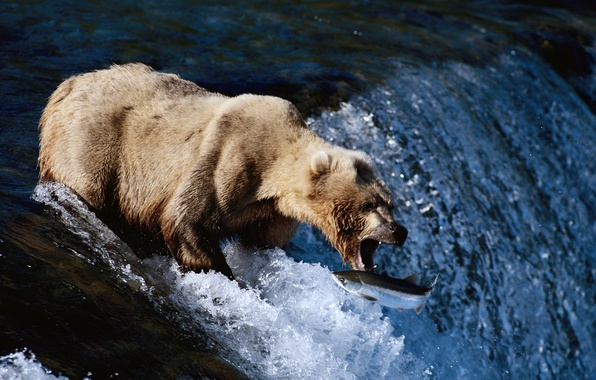 Picture MOUTH, BEAR, FISH, HUNTING, FOR, RIVER, FISHING)