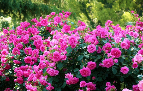 Picture roses, Japan, Japan, Kyoto, Kyoto, the bushes, Botanical garden, Kyoto Botanical Garden