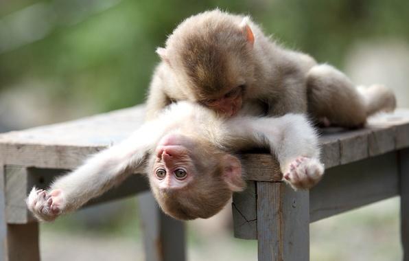Picture monkey, play, monkeys