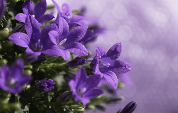 Picture drops, macro, flowers, glare, plant, treatment, blur, purple, bells, lilac
