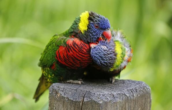 Picture love, birds, parrots, a couple, Multicolor lorikeet