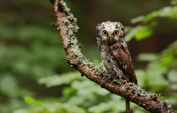 Picture greens, forest, look, nature, tree, owl, branch, bird, owl, owl