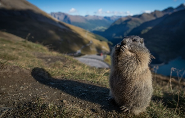 Picture stand, marmot, rodent