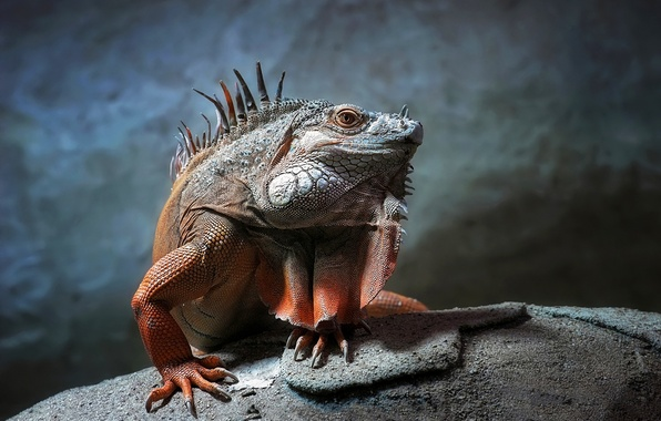 Picture look, stone, scales, iguana, reptile