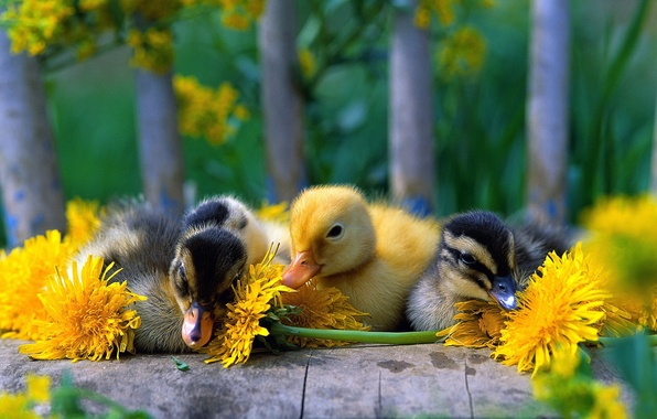 Picture FLOWERS, MACRO, DANDELION, BEAK, BIRDS, YELLOW, RIO, DUCKLINGS