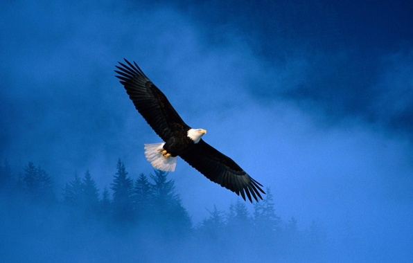 Picture freedom, Eagle, Flight, flight, Alaska, eagle