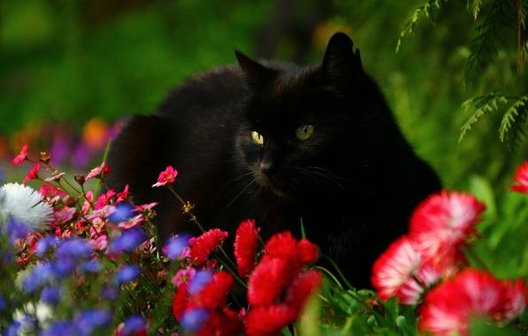 Photo wallpaper cat, flowers, Daisy, black cat